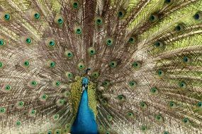 peacock with a beautiful fluffy tail