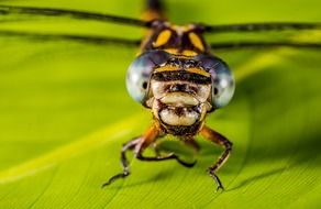 closeup of a dragonfly head with huge eyes