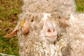 white Sheep with Wool Curls closeup