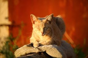 red domestic cat basking in the sun