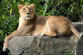 lioness relaxing on stone