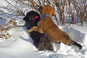 two labrador puppies are playing in the snow