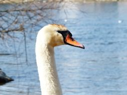 mute swan by the lake