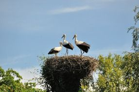 three storks in a nest in Germany