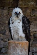 Black and white eagle sitting on a tree stump