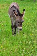 young donkey on the meadow