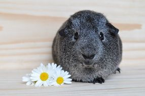 silver guinea pig and daisies