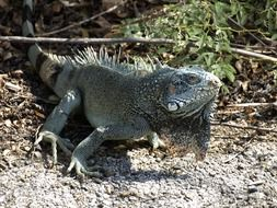 iguana in the natural environment of the Antilles