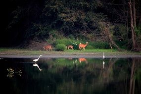 Deer Egrets Birds