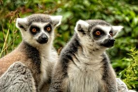couple of ring tailed lemur