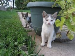 two grey and white Kittens in garden