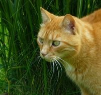 hunting red domestic cat