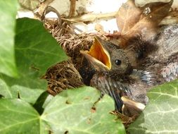 Blackbird Nest Bird Chicks