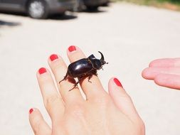 rhinoceros beetle on the female hand
