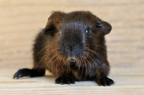 sweet Guinea Pig with smooth hair