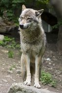 grey european wolf in the forest