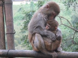 Cute and beautiful macaque with baby