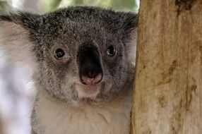 portrait of a koala bear