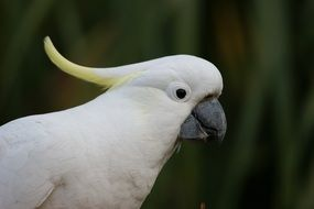Sulphur Crested Cockatoo, parrot head close up