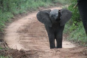 African Elephant in the wildlife