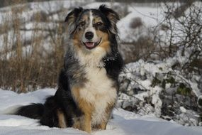 australian shepherd dog in winter forest