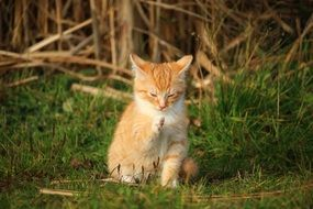 sweet red tabby kitten