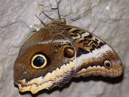 owl butterfly in macro