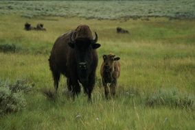 bison and calf on green pasture