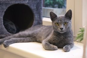 Grey domestic kitten