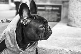 black and white photo of a bulldog in clothes