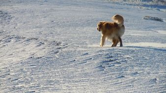 golden retriever walks in the snow