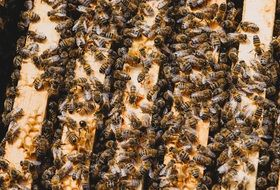 Bees on honeycomb frames in beehive