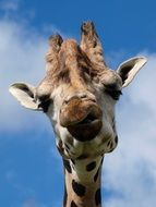 head of a giraffe against the sky