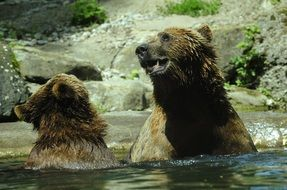 brown bears in water in a zoo