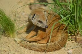 yellow mongoose in wildlife