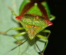 hemiptera is an insect