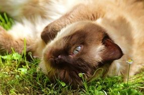 british shorthair cat lying on green grass