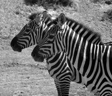 couple of zebras in black and white