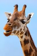 photo of spotted giraffe head