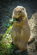 cute small prairie dog