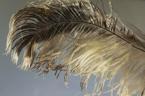 ostrich feather close up