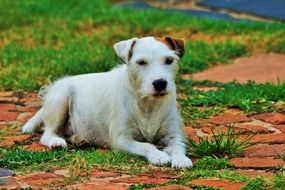 parson 'jack russell lies on the lawn