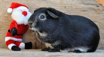 Guinea Pig and toy Santa Claus