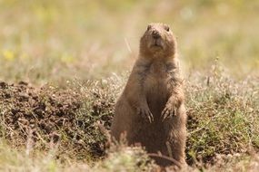 cute beautiful Prairie Dog