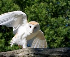Barn owl in wildlife