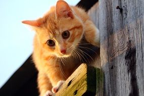 curious young red kitten on the wooden wall