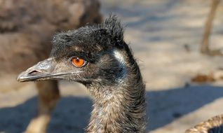 Emu Flightless