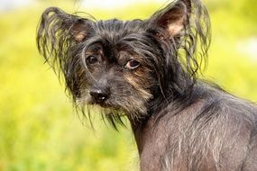 portrait of a Chinese crested dog among nature