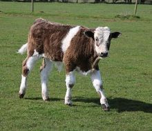 cute farm calf