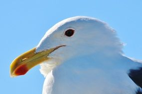 portrait of the seagull